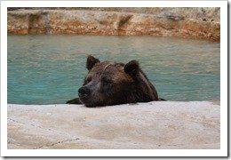 Grizzly-Bear-kuehlt-sich-ab